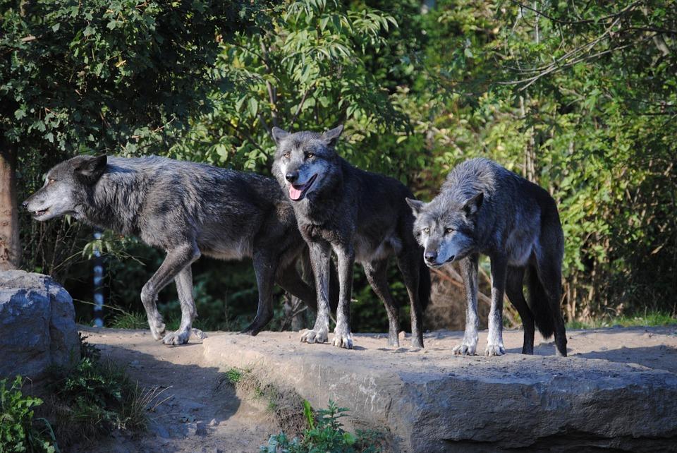 オオカミの画像