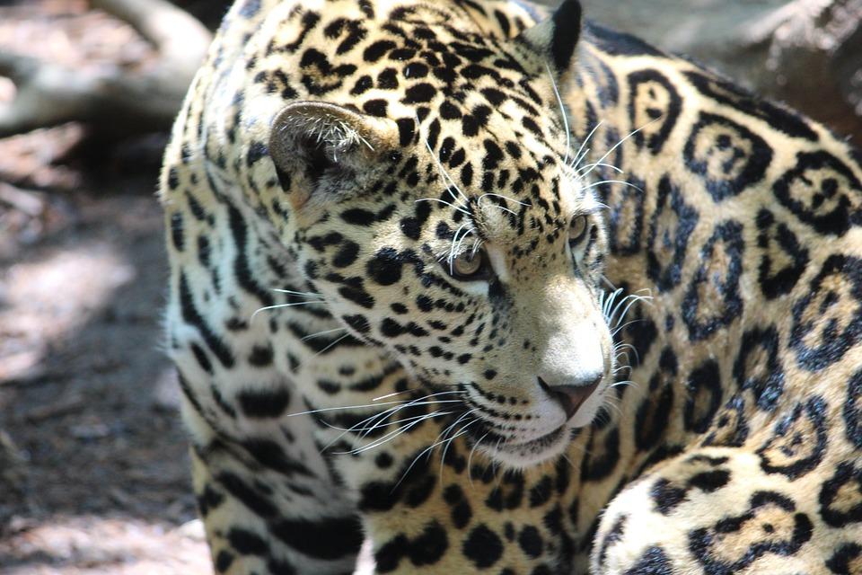 ジャガーの画像